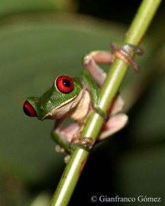 Gaudy Leaf Frog - Agalychnis callidryas