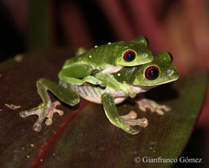 Gaudy Leaf Frogs in axillary amplexus