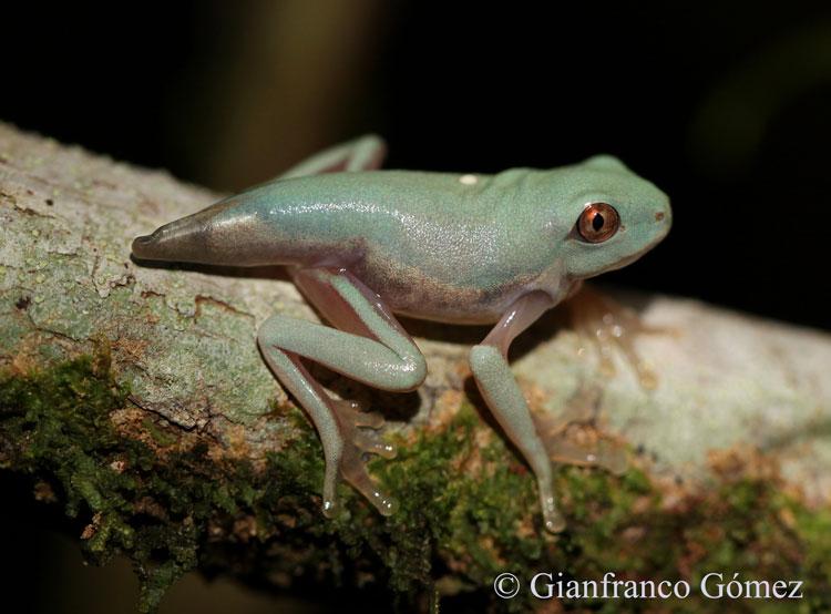 Gaudy Leaf Frog Juvenile