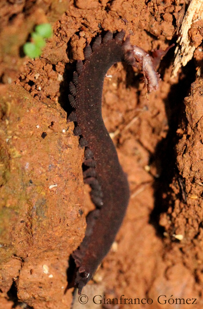 Velvet Worm giving birth. Photograph taken in Drake Bay, Costa Rica on the Night Tour © Gianfranco Gómez