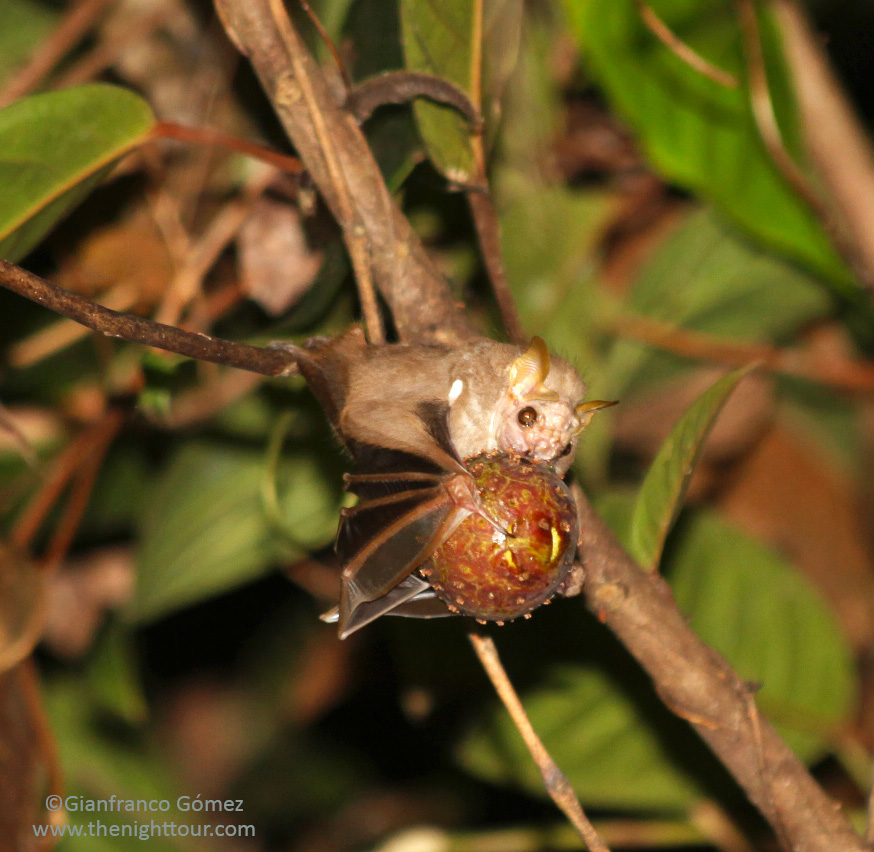 Wrinkle-faced Bat - Centurio senex