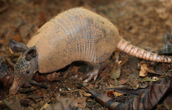 Nine-banded Armadillo, Dasypus novemcintus, photographed on the Night Tour in Drake Bay, Costa Rica