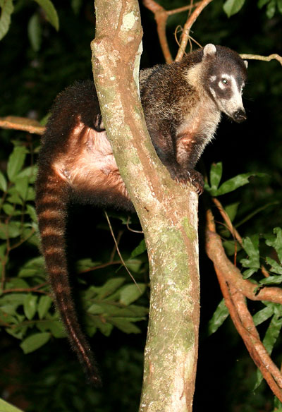 Coati, Nasua narica, photographed during the Night Tour in Drake Bay, Costa Rica