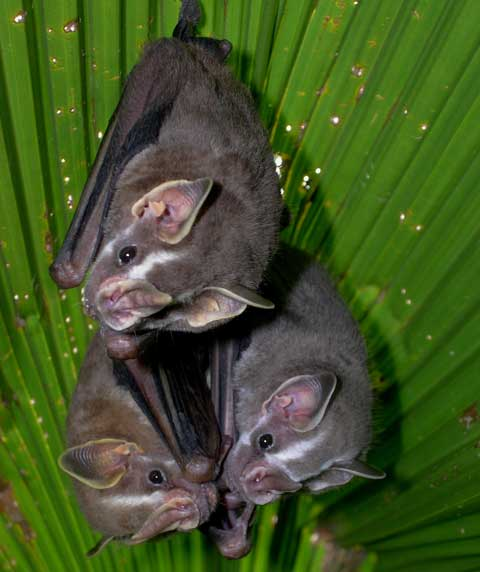 Drake Bay, Costa Rica - Tent making bats are commonly encountered in Drake Bay.