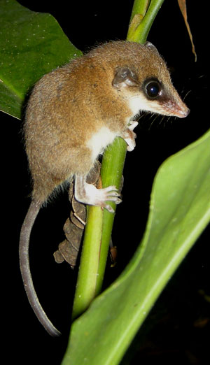 Mexican Mouse Opossum, Marmosa mexicana, photographed in Drake Bay, Costa Rica during the Night Tour