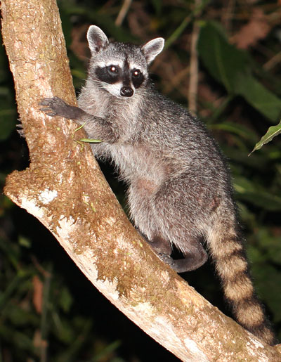 Raccoon photographed in Drake Bay, Costa Rica during the Night Tour