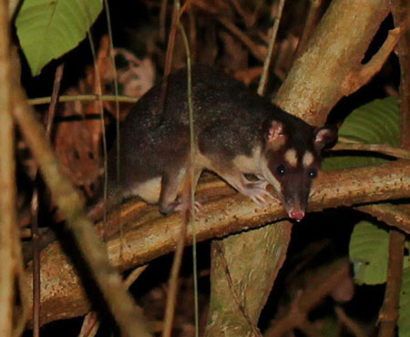 Gray Four-eyed Opossum, Philander opossum, photographed in Drake Bay, Costa Rica during the Night Tour