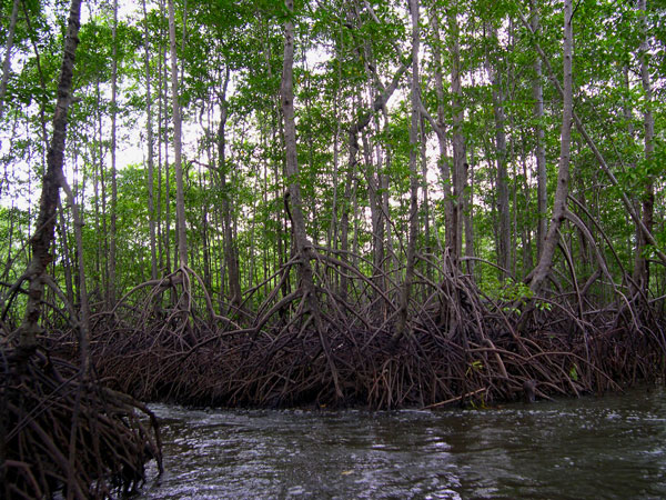 Mangrove forest in the Sierpe-Térraba Mangrove Reserve
