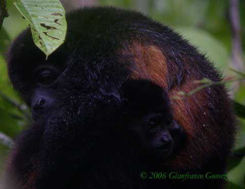 Drake Bay, Costa Rica - Howler Monkeys