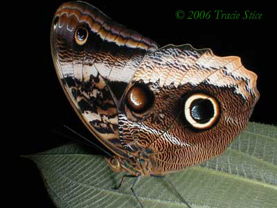 Drake Bay, Costa Rica - The Owl Butterfly is a common resident of Drake Bay.