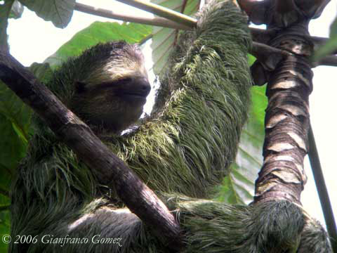 Drake Bay, Costa Rica - Three-toed Sloth