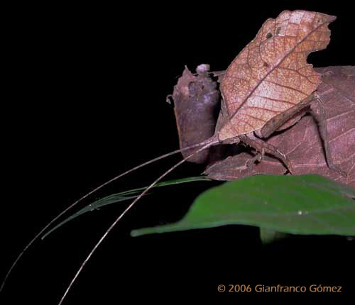 Drake Bay, Costa Rica - This leaf-mimicking katydid is one of the best disguised insects in Drake Bay.