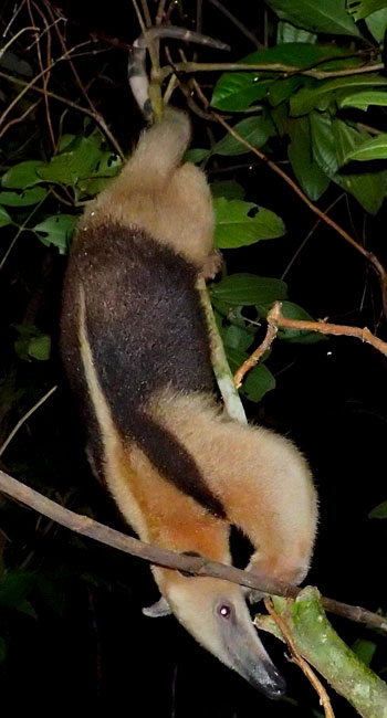 Tamandua photographed on the Night Tour in Drake Bay, Costa Rica