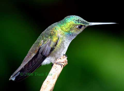 Drake Bay, Costa Rica - Beryl-crowned Hummingbird