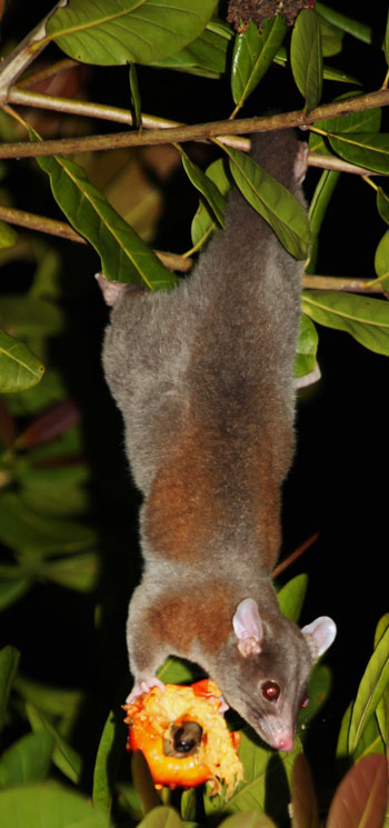 Woolly Opossum, Caluromys derbianus, photographed in Drake Bay, Costa Rica during the Night Tour